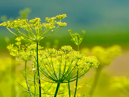 Herbal Spotlight: Fennel