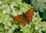 Polygoniac C-album Comma butterfly by Jane Stout