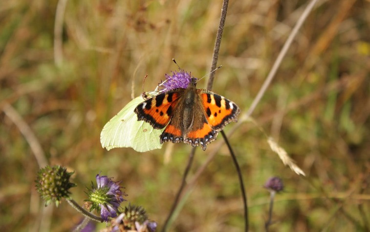 A white butterfly and a red patterned butterfly on the same purple flower in greenish bogland
