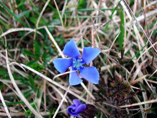 Light blue flower nestled in an outdoor patch of grass and straw