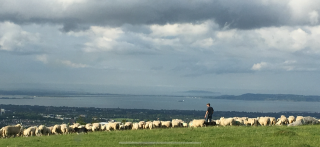 A herd of white sheep and a farmer on a hillside, overlooking a city and coastal view, with dark clouds above