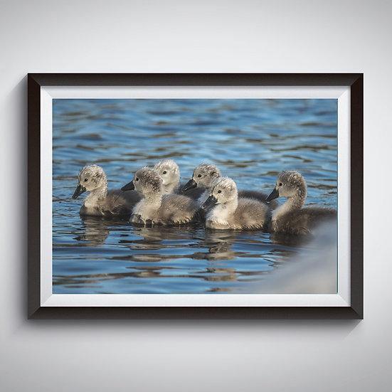 Cygnets Swimming