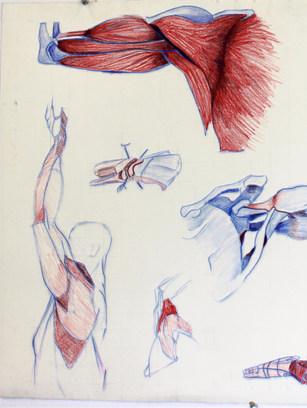 Arms Anatomy Study