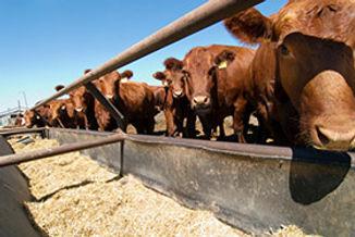 cattle-feeding.jpg