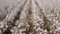 Cotton-Farm.jpg
