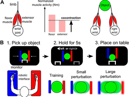 The dominant limb preferentially stabilizes posture in a bimanual task with physical coupling