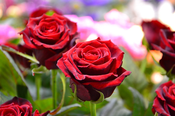 la rose 80cm