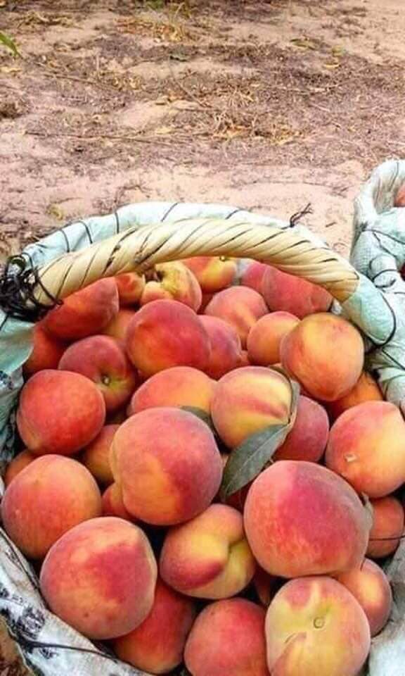 Syrian peached