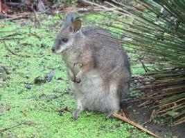 Tamar Wallaby Kangaroo Island Australia