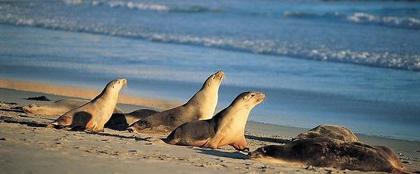 Seal Bay Kangaroo Island Guided Tour