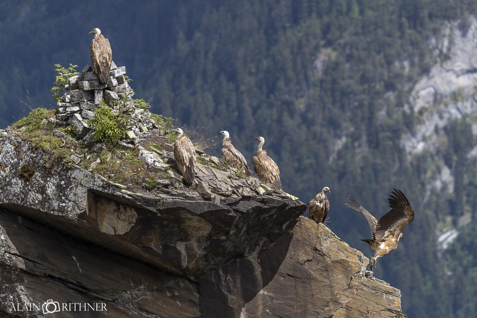 vautour en Valais