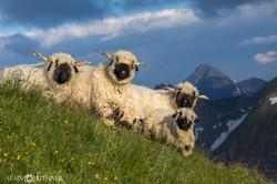Moutons nez noir