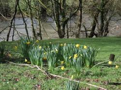Local Daffodils