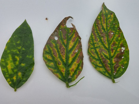 Management Steps for Sudden Death Syndrome in Soybeans