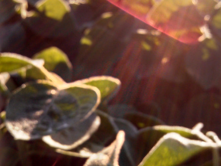 Considerations for Early Plant Soybeans