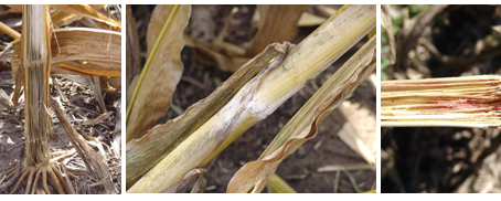 Harvest Considerations for Drought Impacted Crops