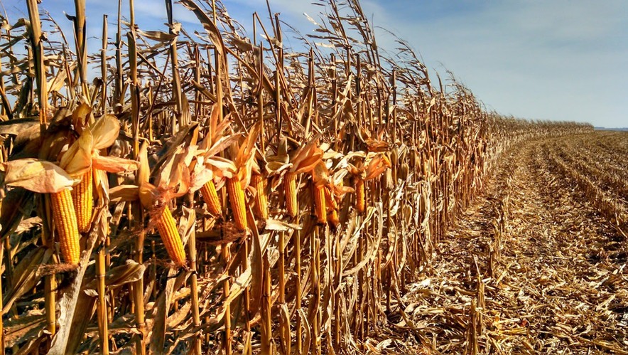 corn_harvest.jpg