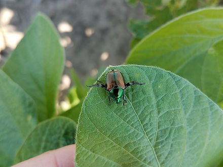 corn and soybean insect gallery