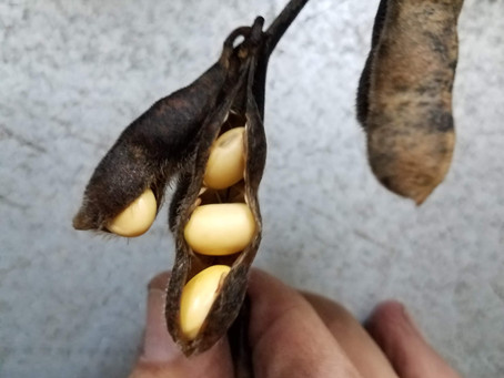 Impacts of rainfall on soybean grain quality and storage