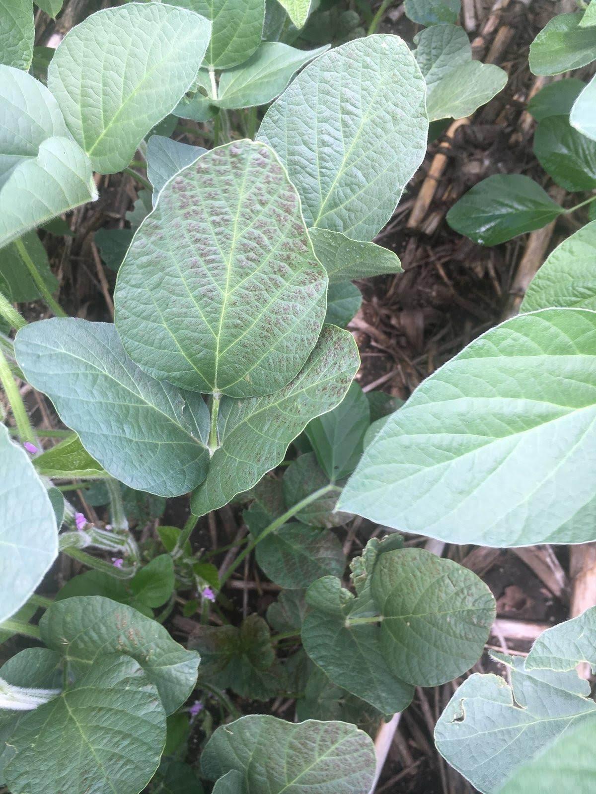 Cercospora leaf blight