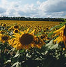 sunflowers, specialty crops