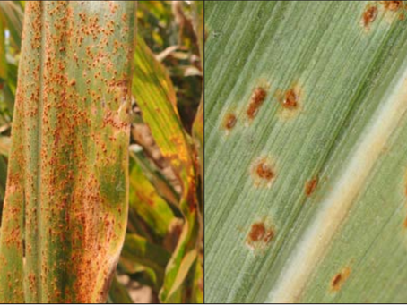 Southern Rust Outlook 2019