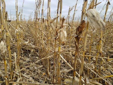 Our Stalk Rot Situation: Update and Best Management Practices