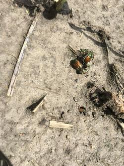 Japanese Beetles recently emerged