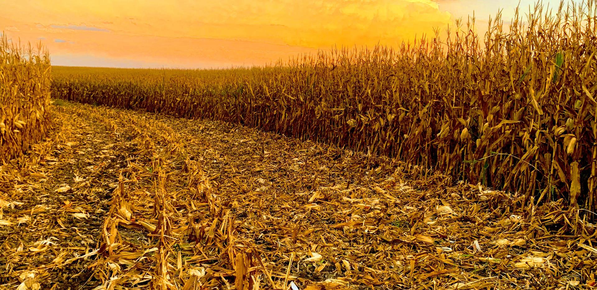 Teresa Manche Corn.jpg