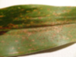 corn and soybean disease