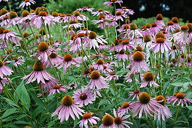 Mass of Purple coneflower.eXtension.jpg