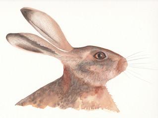 Female Devon Hare - latest watercolour painting