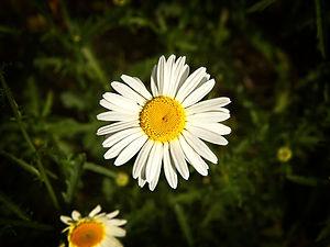 A macro photograph of a daisy flower