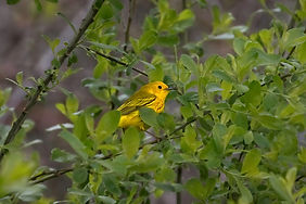 A photograph of a Yellow Warbler sitting on the branch of a tree, surrounded by green flowers.
