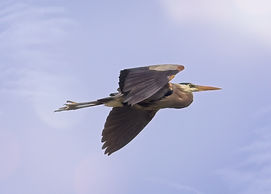 A color photograph of a Great Blue Heron in mid-flight.