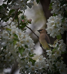 A grey Cedar Waxwing perched on a branch with white flowers.