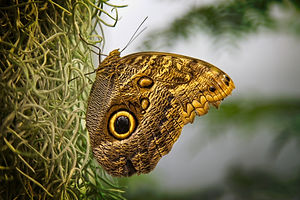 A macro/close up photo image of a yellow and brown Tiger's eye butterfly resting on a grassy tree trunk.