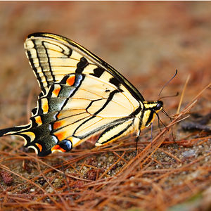 A macro/close up photo image of an yellow Eastern Swallowtail Butterfly with shadings of black, yellow, orange, and blue on it's wings, resing on pine needles on the ground.