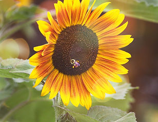 A photo of a sunlit sunflower in yellow and orange with a honeybee in it's center