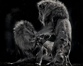 Lion 2 BW copy.jpg