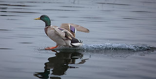 A Mallard Duck landing on clear, glass-llike water with a wake behind it and wings outspread.