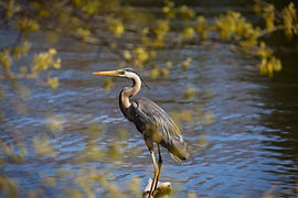 A Great Blue Heron perched on a rock in a lake.