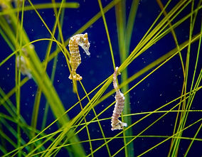 A Macro image of two Dwarf Seahorses floating in a tank with their tails wrapped around green reeds, one of which is upside down.