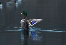 Mallard duck with outstretched wings about to take flight in glassy, grey water