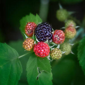 A Macro image of a Blackberry bush with green, red, and mature black berry fruits, surround by green leaves.