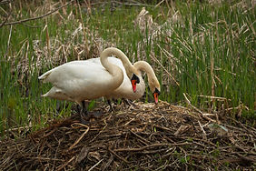 Two swans staring at the eggs in thier nest.