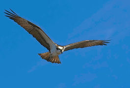 An Osprey in flight against a blue sky with a slight sun flare from the top right.