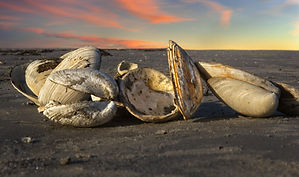 A close up photo of open clam shells on the sand at sunset with pink and yellow clouds in the pale blue sky.