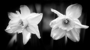 A macro black and white photo of two white lilies.