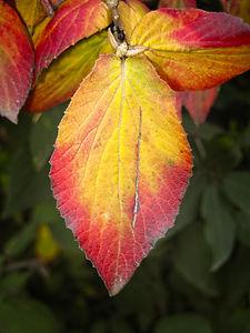 Close up of Red/Orange Autum Leaf
